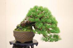 Pinus Bonsai Tree Types, Bonsai Trees, Mame Bonsai, Indoor Gardening, Tree Designs, Planter Pots, Landscape, Plants, Avocado