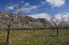Flowering Almond Trees in the foreground with Montserrat as a backdrop. Located in Catalonia Spain outside Barcelona.