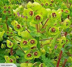 Euphorbia martinii with lime green flowers studded with a bright red eye is an excellent, dry site contrast plant. Colorful Plants, Unusual Plants, Green Plants, Euphorbia Milii, Euphorbia Plant, Drought Tolerant Garden, Herbaceous Border, Plant Identification, Perfect Plants