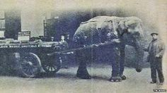 As World War One raged, the military purchased most of England's horses and sent them to the Western Front. Many farmers and traders had to find alternative beasts of burden, but none more exotic than elephants. Here, an Indian elephant named Lizzie was conscripted from a travelling menagerie to to cart munitions, machines and scrap metal around the city, a job previously done by three horses taken off to war.