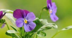 Violas: flor de temporada en otoño