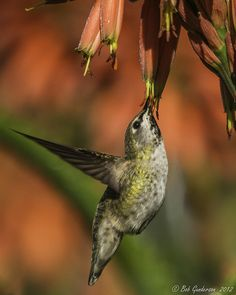 ~~Anna's Hummingbird by Bob Gunderson~~