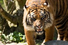 Tiger on the prowl at Flamingo Land,Malton,North Yorkshire,England. ©Steve Gill from Photocrowd.com