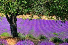 lavande Provence chérie