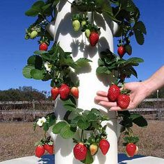 The Tower Garden Growing System comes with everything you need to start growing vegetables, herbs, and fruits at home—including our specially formulated plant food and gourmet seeds. This aeroponic 5-feet-tall vertical garden allows you to grow up to 20 plants in less time than it takes in soil.