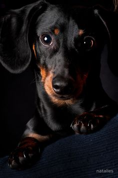 Little black wiener dog...look at the wisdom in those eyes, he knows when you're trying to hide that food!