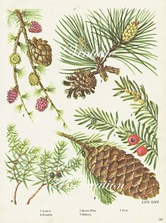 Vintage Botanical Print Antique Pine cone Yew Spruce Juniper Larch, plant botanical print, bookplate art print, trees plants plant wall