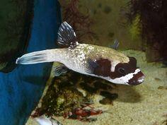 Arothron diadematus es una especie de peces de la familia Tetraodontidae en el orden de los Tetraodontiformes.
