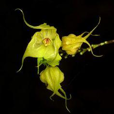 Lepanthes chimaera