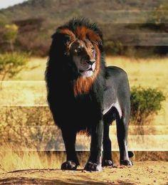 Title this melanistic lion cat recipes monty the cat cats Unusual Animals, Majestic Animals, Rare Animals, Funny Animals, Wild Animals, Beautiful Cats, Animals Beautiful, Lion Cat, Funny Animal Videos