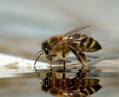Honeybee drinking water