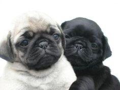 Pugs.. I need them!!