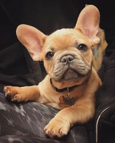 Understanding the Puppy Teething Stages Cute French Bulldog, French Bulldog Puppies, Baby Puppies, Baby Dogs, Dogs And Puppies, French Bulldogs, Doggies, Baby Bulldogs, Terrier Puppies