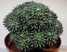 Mammillaria peinteri Cactus Gallery