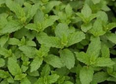 Menta x. 'Mojito' Mojito Mint from Prides Corner Farms Pepermint Oil, What Is Ibs, Ibs Relief, Ibs Diet, Irritable Bowel Syndrome, Gluten Intolerance, Eat Right, Mojito, My Works