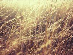 Fond d'écran hd : champ de blé