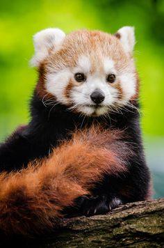 """Red Panda by Mathias Appel 