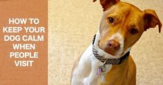 Tips to keep your dog calm when people visit #pitbulls #pitties #mutts