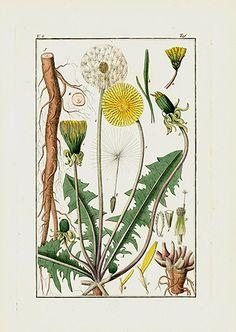 Dandelion USD $45 Pharmaceutical Waarenkunde by Eduard Winkler 1852