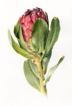 protea stokoei botanical illustration by Willie Schlechter Protea Art, Protea Flower, Illustration Botanique, Plant Illustration, Botanical Flowers, Botanical Prints, Watercolor Flowers, Watercolor Paintings, Watercolour