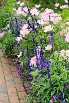 ╭⊰✿ The Romantic Cottage Garden ✿⊱╮Summer border with Salvia farinacea Victoria in purple) Cosmos bipinnatus Sonata Pink. Back Gardens, Outdoor Gardens, Beautiful Gardens, Beautiful Flowers, House Beautiful, Cottage Garden Plants, Cottage Garden Borders, Border Garden, Cottage Front Garden