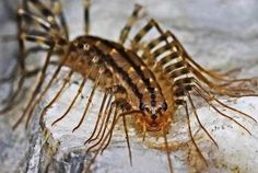 Here's Why You Should Never Squash A Centipede
