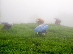 Pluckers on Jungpana Tea Estate during the monsoon, Darjeeling, India. Jim Corbett National Park, Herd Of Elephants, Green Scenery, Temple Ruins, Mussoorie, Ooty, Hill Station, Great Pictures, Monsoon