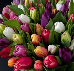 Tulipanslekta// tulipa