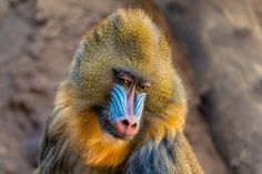 Mandril - This is an improved version of a previously uploaded image.