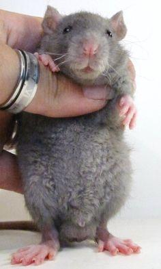 Rex Rat - What a beautiful boy! Rex Rat, Dumbo Rat, Fancy Rat, Cute Rats, Rodents, Hamsters, Gerbil, Cute Mouse, Little Critter