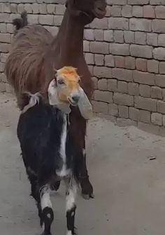 Trending GIF meme friends mood friend awkward walking entrance strut goats reazioni showing up goat walk hipster developers Funny Animal Memes, Funny Animal Videos, Cute Funny Animals, Funny Animal Pictures, Cute Baby Animals, Funny Cute, Funny Dogs, Animals And Pets, Humorous Animals