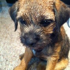 Cooper! My border terrier at 4 months :)