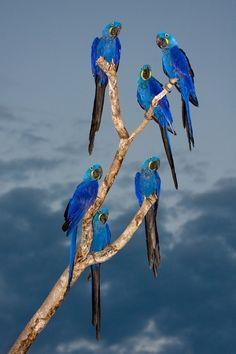 """""""Araras Azuis"""" - Blue Macaws. Copyright © Ismar dos Santos"""