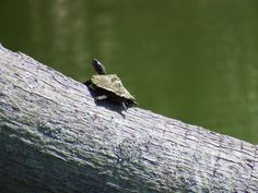 Baby turtle at Bonner park. Fuji S1.