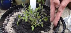 Adding fertiliser to self-watering container