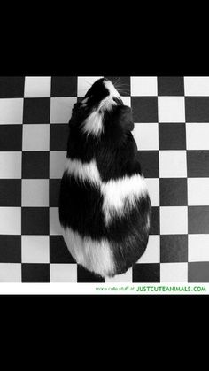 I want a black and white guinea pig