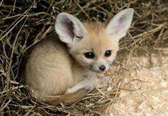 Fennex fox baby