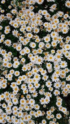 We have collected 100 spring wallpaper images to decorate your phone or desktop computer and get you into the spring mood and bring a smile to your face.spring desktop wallpaper, lots of small white daisies, floral phone wallpaper