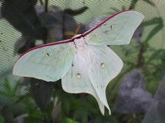 Actias gnoma Japanese Moon Moth