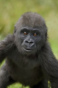 dont you just wanna hug the crap out of this baby Gorilla?