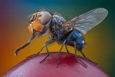 The stout and sturdy common housefly is caught in a rare moment with its wings still. Over millions of years these insects have lost their second set of wings and have become perfectly adapted