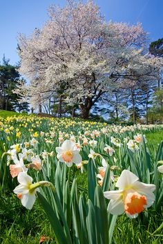 New York Botanical Gardens I love daffodils! Their so cheery! Botanical Garden New York, Botanical Gardens, Exotic Flowers, Beautiful Flowers, Floral Flowers, Beautiful Landscapes, Beautiful Gardens, Spring Flowers, Wild Flowers