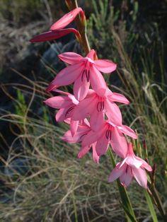 Watsonia amabilis