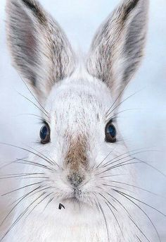 ~~A Cute Hare Day / Snowshoe Hare by Gary Fairhead~~ Cute Creatures, Beautiful Creatures, Animals Beautiful, Animals And Pets, Baby Animals, Cute Animals, Snowshoe Hare, Photo Animaliere, Tier Fotos