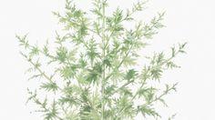 Absinthe, Marvel, Blog, Chinese, Herbal Plants, Blogging
