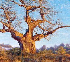 Under the Baobab - Limited Edition Giclee Prints by John Banovich