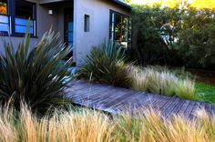 Venice homeowners Dan Seaver and Will Speck worked with landscape architect Mark Tessier to add a boardwalk from the garden gate to the front door, passing over a newly graveled area planted with grasses, phormium and kangaroo paw. Instead of a ratty lawn, they have a patchwork of succulents.