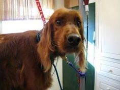 Cara is an adoptable Irish Setter Dog in Aledo, TX. Cara is about 10 years old, current on all her shots and heartworm negative, house trained and reliable. Don't let her age fool you, she is young lo...