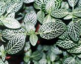 Fittonia house plant care guide and pictures. A creeping plant with leaves of white, red or pink veins and small white flowers. Water, lighting for Fittonia indoor plants. Unusual Plants, Cool Plants, Live Plants, Inside Plants, Large Flower Pots, Small White Flowers, Unique Flowers, Indoor Trees, Best Indoor Plants