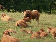 Limousine cow enjoying a bit of bull!